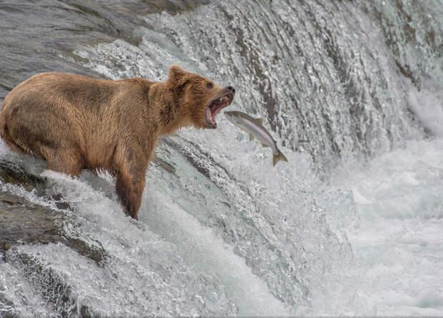 Медведь в национальном заповеднике США (Aaron Baggenstos, США).