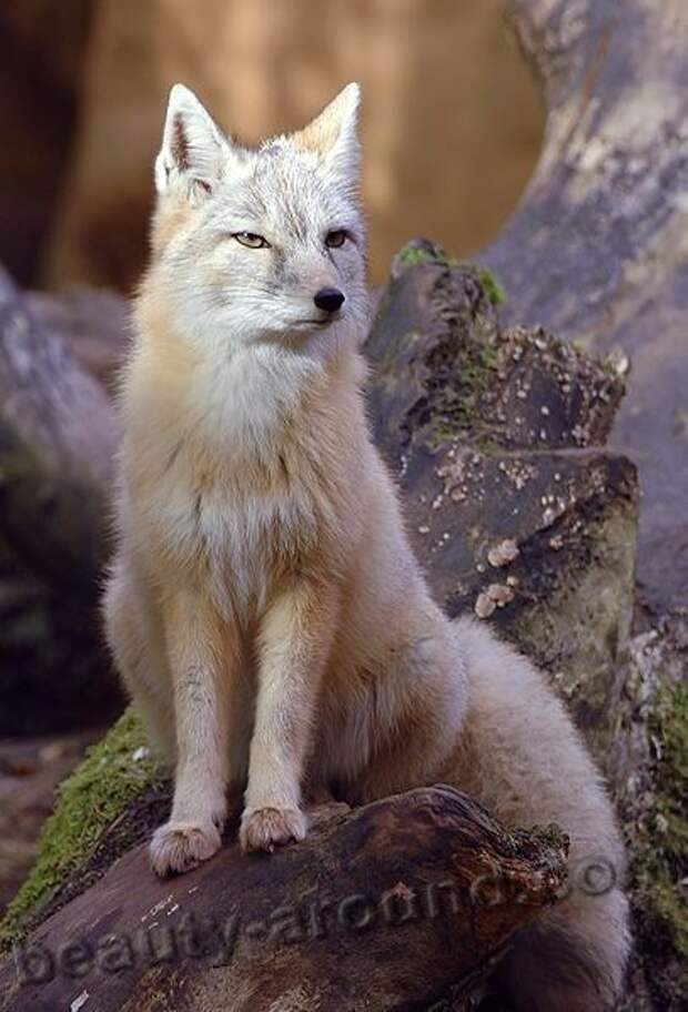 Корсак (степная лисица)