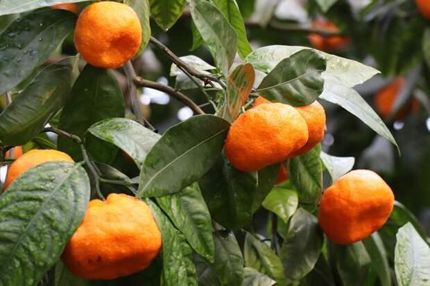 Советы предков. Как вырастить карликовое апельсиновое дерево?