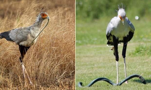 птица секретарь змея