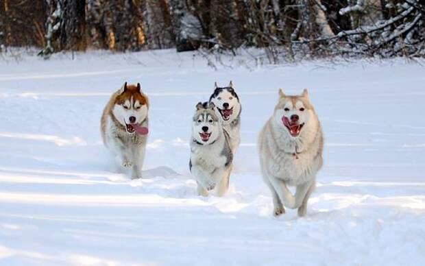 Сибирские хаски, фото породы собак фотография картинка