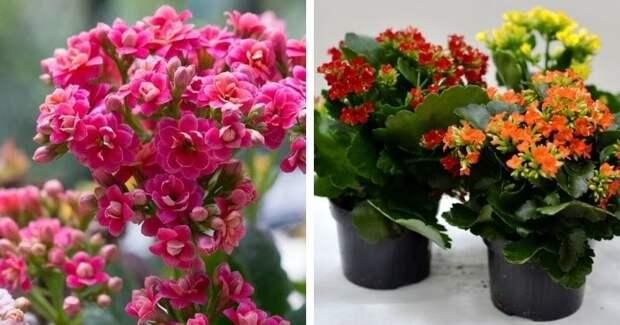 Даже каланхоэ зацветёт: несложные правила, которые обеспечат обильное цветение