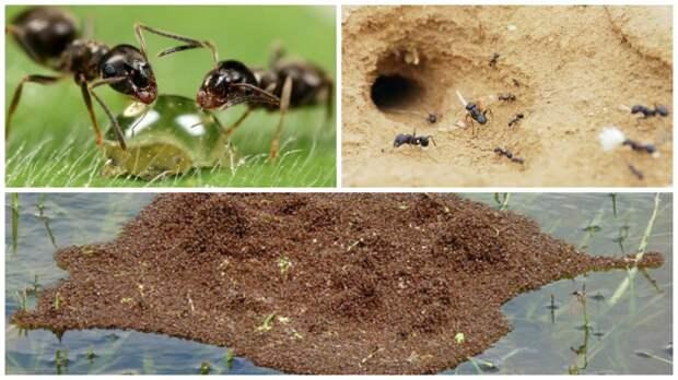 Коллективный разум муравьев просто поражает!  интересно, муравьи, познавательно