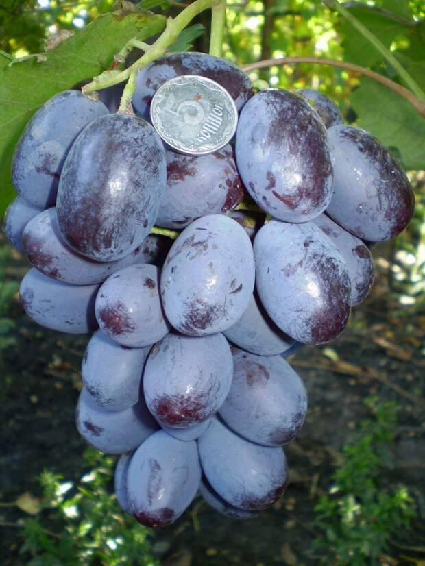 Виноград, по размерам больше похожий на сливы. огород, самые большие овощи, урожай