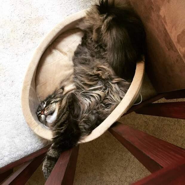16. «Моя кошка, Калигула, валяется в кроватке как настоящая принцесса» домашний питомец, животные, забавно, кот, мейн-кун, фото, юмор
