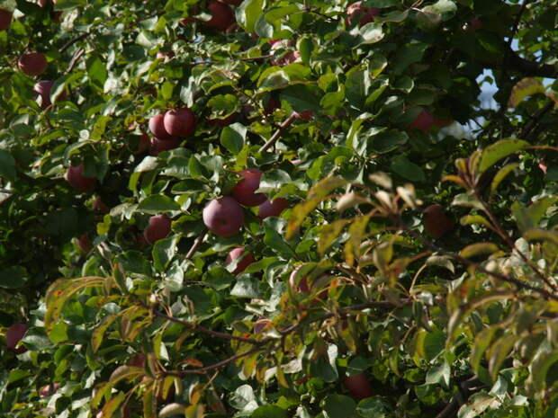яблоня готова к сбору яблок