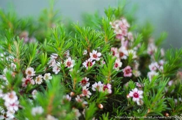 5177462_Chamelaucium_uncinatum_flower_two_color (700x465, 263Kb)