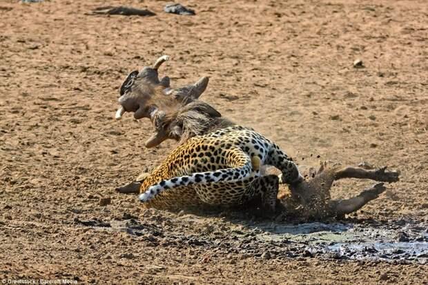 Быстрая схватка: Животные борются между собой бородавочник, животные, леопард, охота, природа