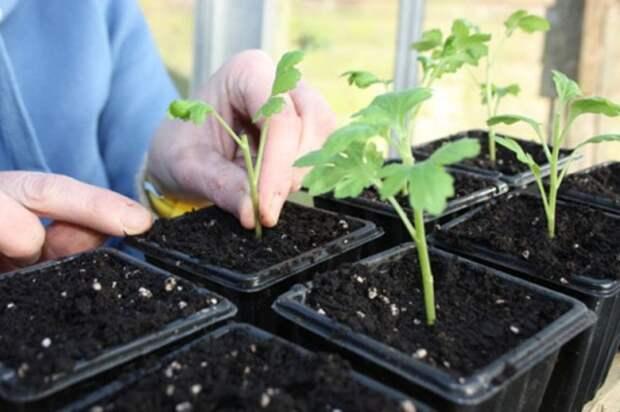 Чтобы получить больше посадочного материала, хризантему размножают черенкованием