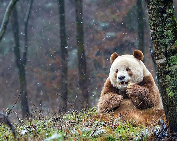 Ты знал, что в мире есть одна коричневая панда? Посмотри на 5 очень милых фото