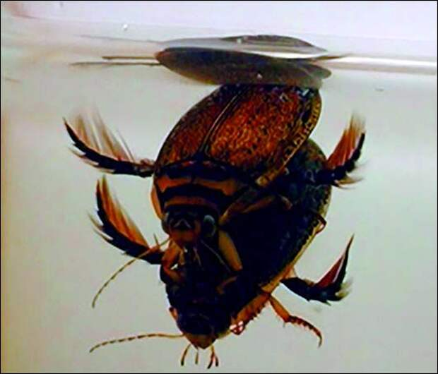 спаривание жуков-плавунцов