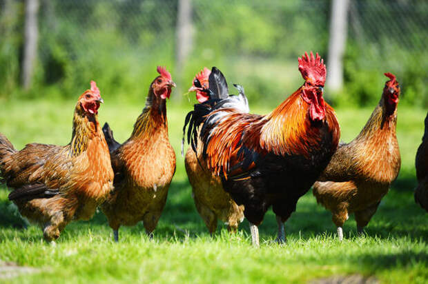 Идея завести кур для многих стала важной частью мечты о сельской жизни