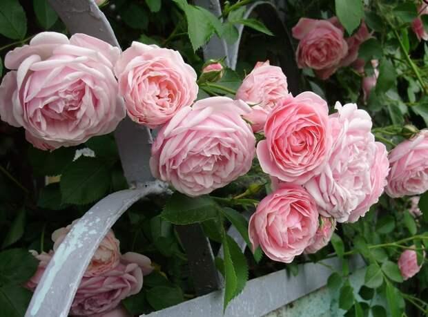Изображение Куст, Ограждение, Цветы, Розы, Сад. Природа Фабрика картинок - PicsFab.com. Обои для рабочего стола