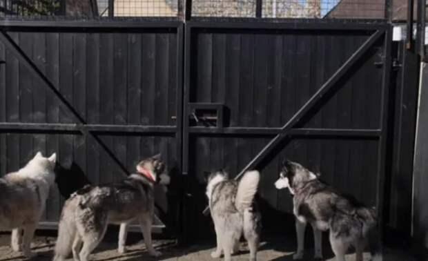 Хаски страдали за высоким забором, и тогда хозяин решил им помочь