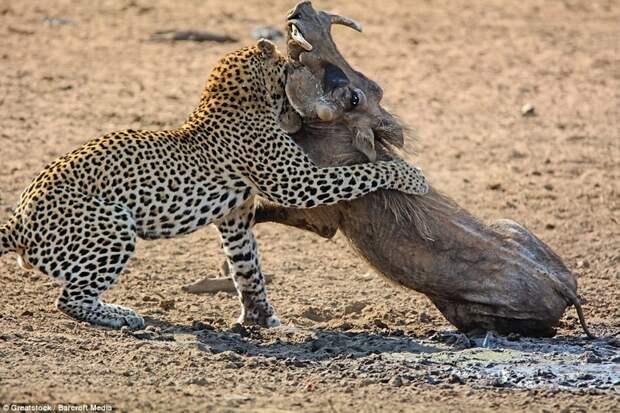 Игра окончена: Хищник убивает кабана, кусая его за шею, пока у того не остановится дыхание бородавочник, животные, леопард, охота, природа