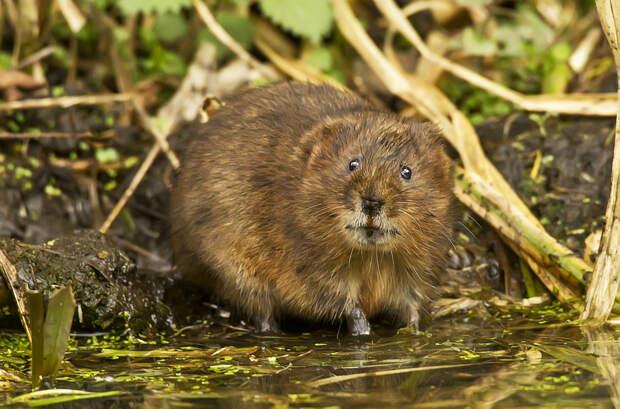 Водяная крыса - опасный вредитель