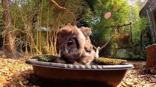 Сотрудники Орегонского зоопарка запечатлели на видео водные процедуры совы-чистюли