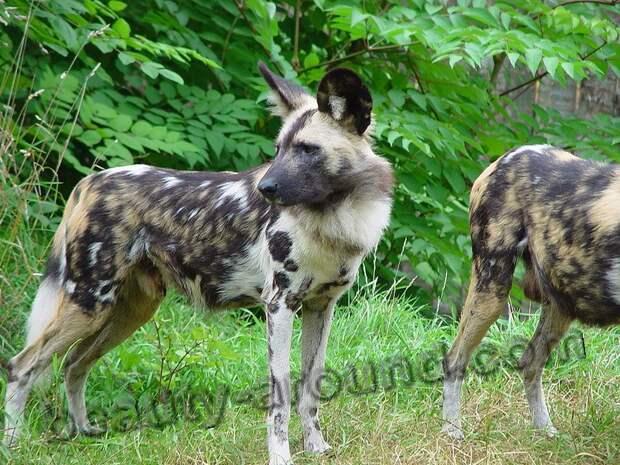 Гиеновая собака (гиеновидная собака)