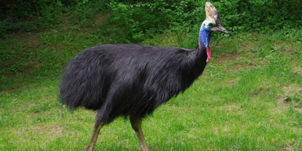 Первой одомашненной птицей оказалась не курица, а казуар