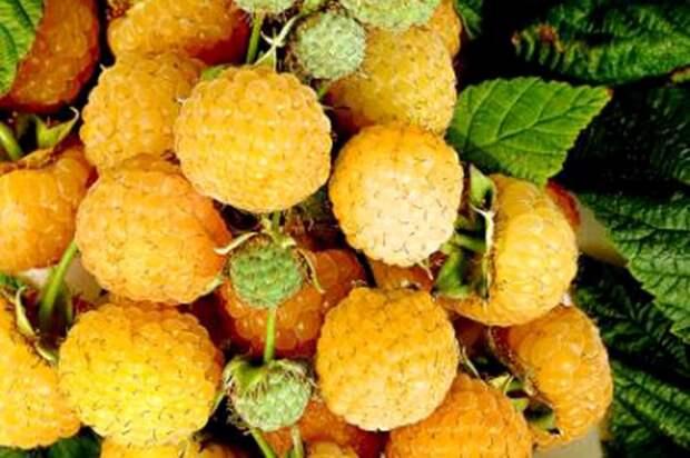 Плоды малины Оранжевое чудо фото