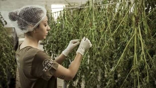 В Молдове накрыли группу продавцов марихуаны