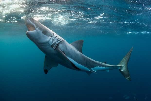 12. Не говорю родителям, как сильно я их люблю Белая акула, фото