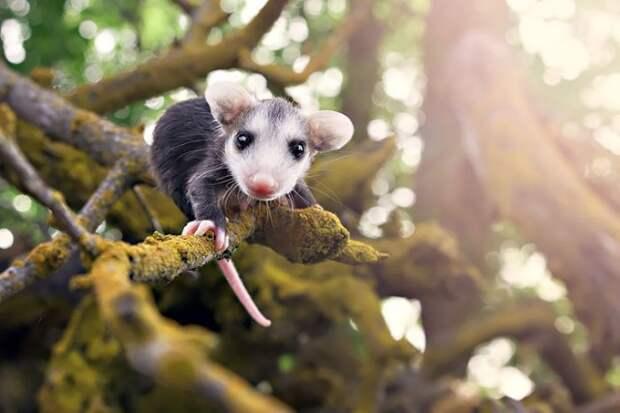15 забавных фотографий поссумов и опоссумов животные, фотографии