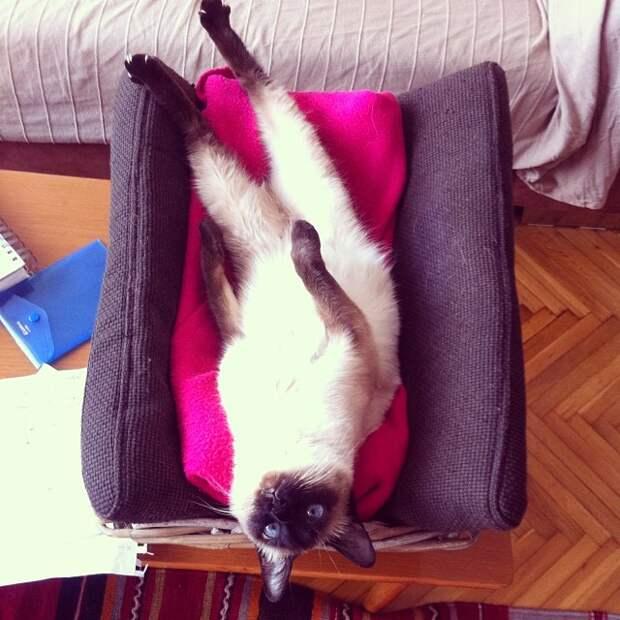 Сиамские кошки. Красивые фото. Кот отдыхает