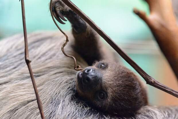 17 удивительных фактов о ленивцах 15