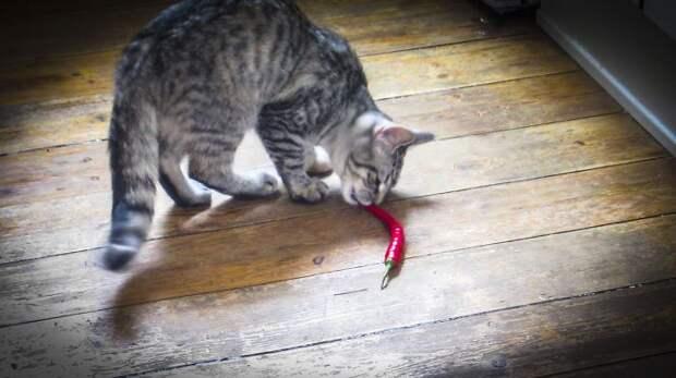 кошка ест чили