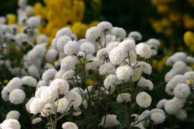 Дендрантема садовая, или садовая хризантема