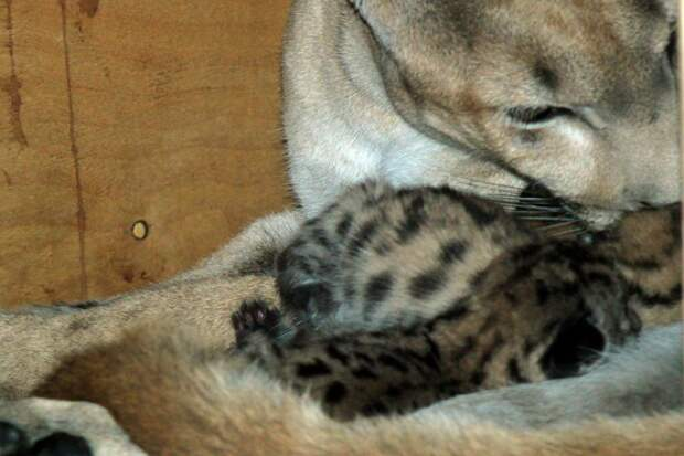В зоопарке Пензы родились сразу пять пумят!
