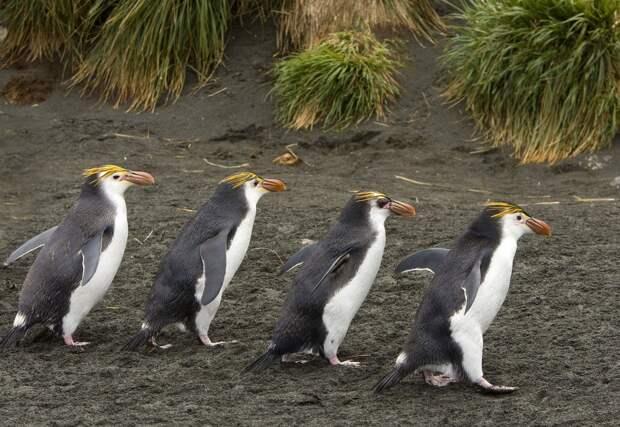 8. В 1978 году остров признали заповедником, а в 1997 Маккуори причислили к списку Всемирного наследия ЮНЕСКО, что помогло защитить его уникальную экосистему и уязвимых обитателей.