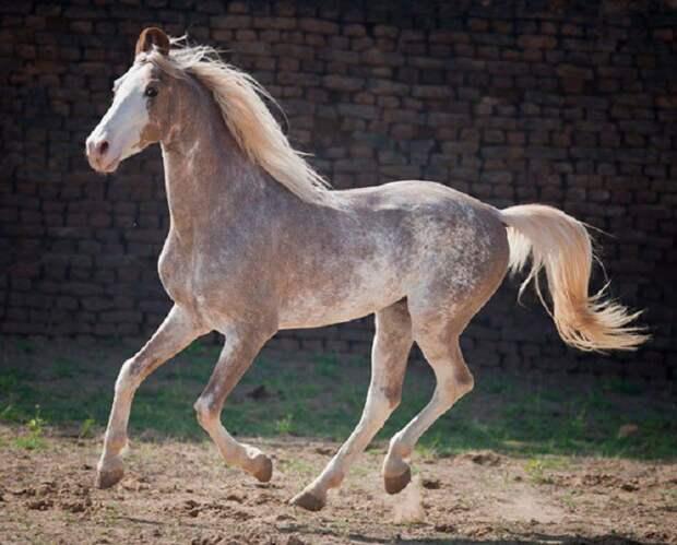 Сабино животные, красота, лошади