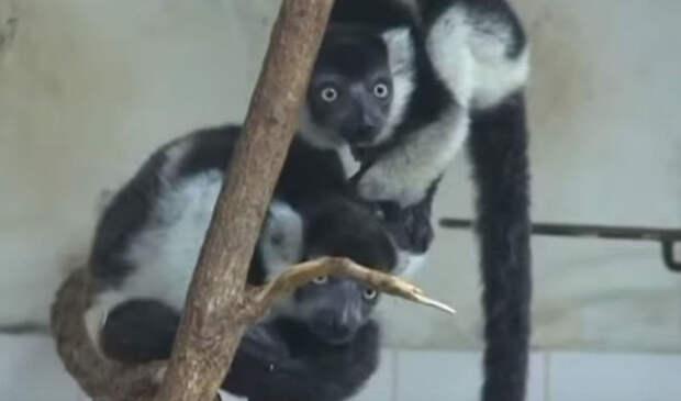 Пражский зоопарк показал трех детенышей редкого лемура