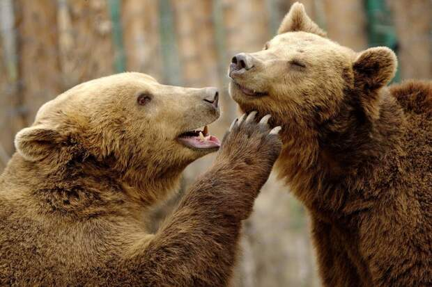 Медведи играют в Северной Македонии