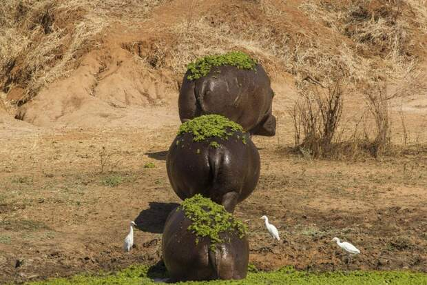 Бегемоты выходят на берег после купания в национальном парке Мана Пулс, Зимбабве