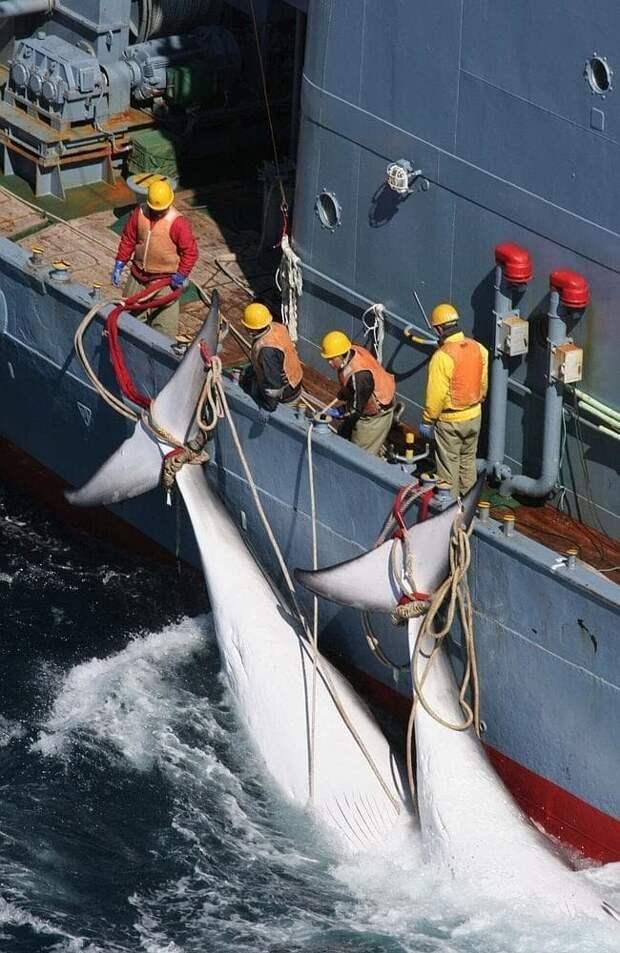 """Недавний вылов официально классифицировали как """"биологический отбор"""" с целью изучения """"структуры и динамики морской экосистемы Антарктики"""", однако сбывают китовое мясо на местные рынки исследование, кит, наука, промысел, убийство, фото, япония"""