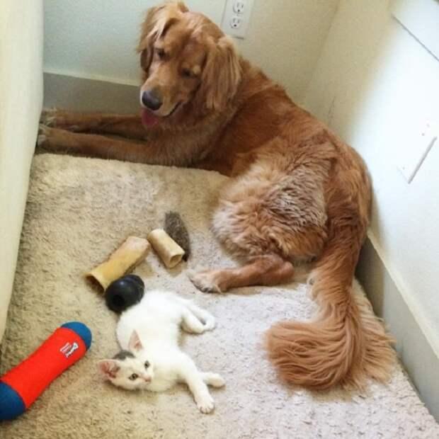 Собака смотрит на котенка