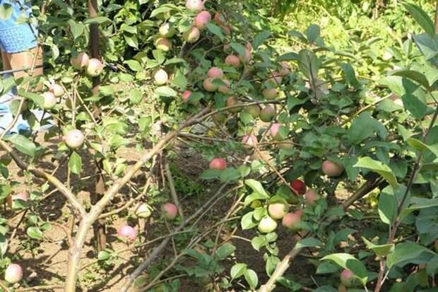 стланцевая яблоня (фото автора)