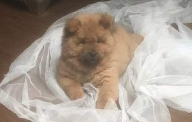 Щенка чау-чау выпустили из заключения после массовых протестов животные, забавно, задержание собаки, свободу Банглу, собака-кусака, собаки, собачья амнистия, чау-чау