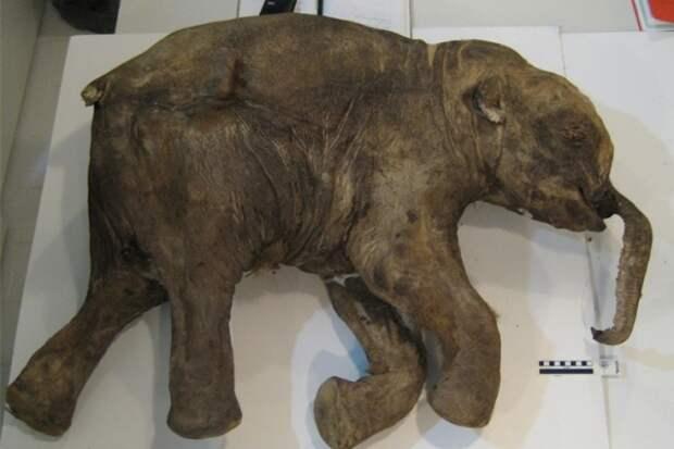 Ученые пытаются клонировать знаменитого Малоляховского мамонта