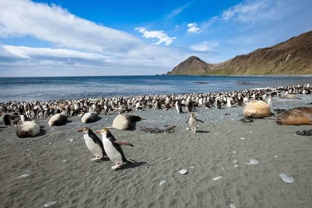 3. На Маккуори живут многие виды пингвинов, а также тюлени и альбатросы.