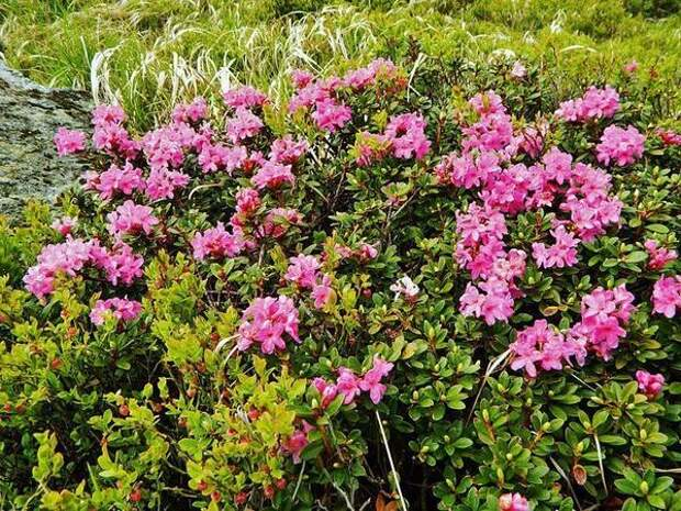 Рододендрон восточнокарпатский (Rhododendron myrtifolium). Фото с сайта upload.wikimedia.org