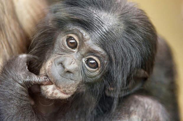 Шимпанзе животные, факты