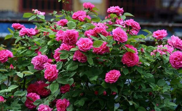 Розы в саду : Идеи для вашего дома