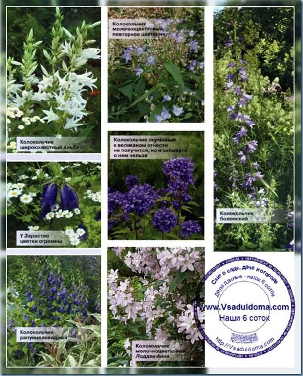 Цветы колокольчики (фото) —  уход и сорта и виды