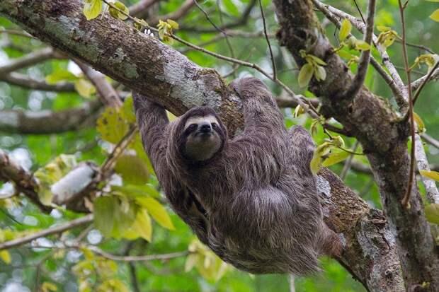 17 удивительных фактов о ленивцах 9