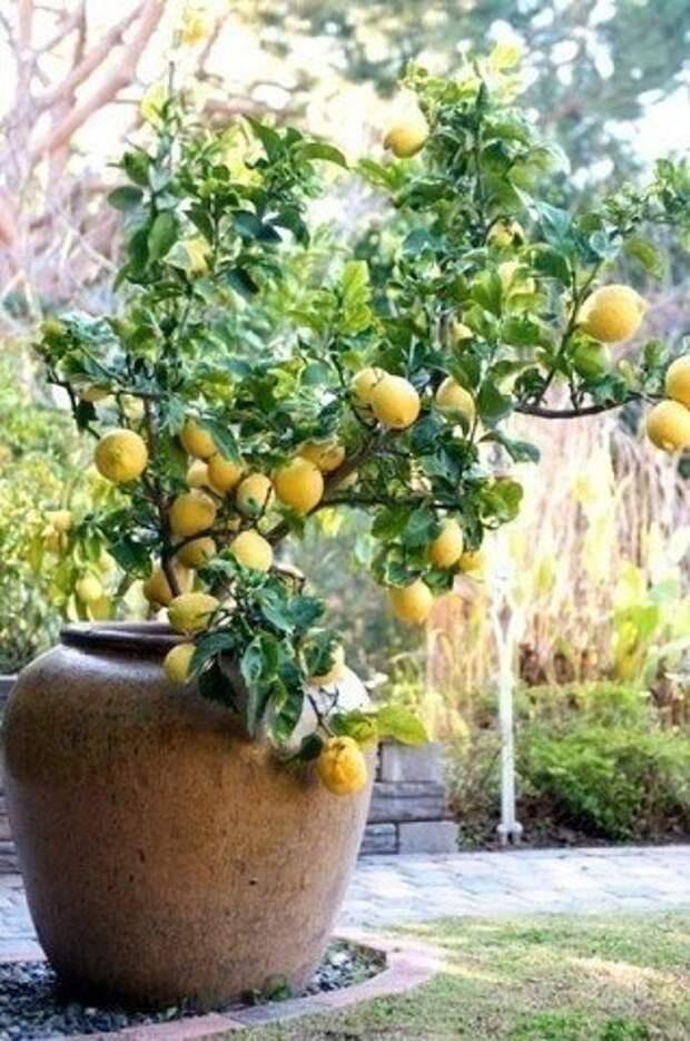 Разведение лимона