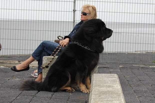 Тибетский мастиф, фото собаки фотография
